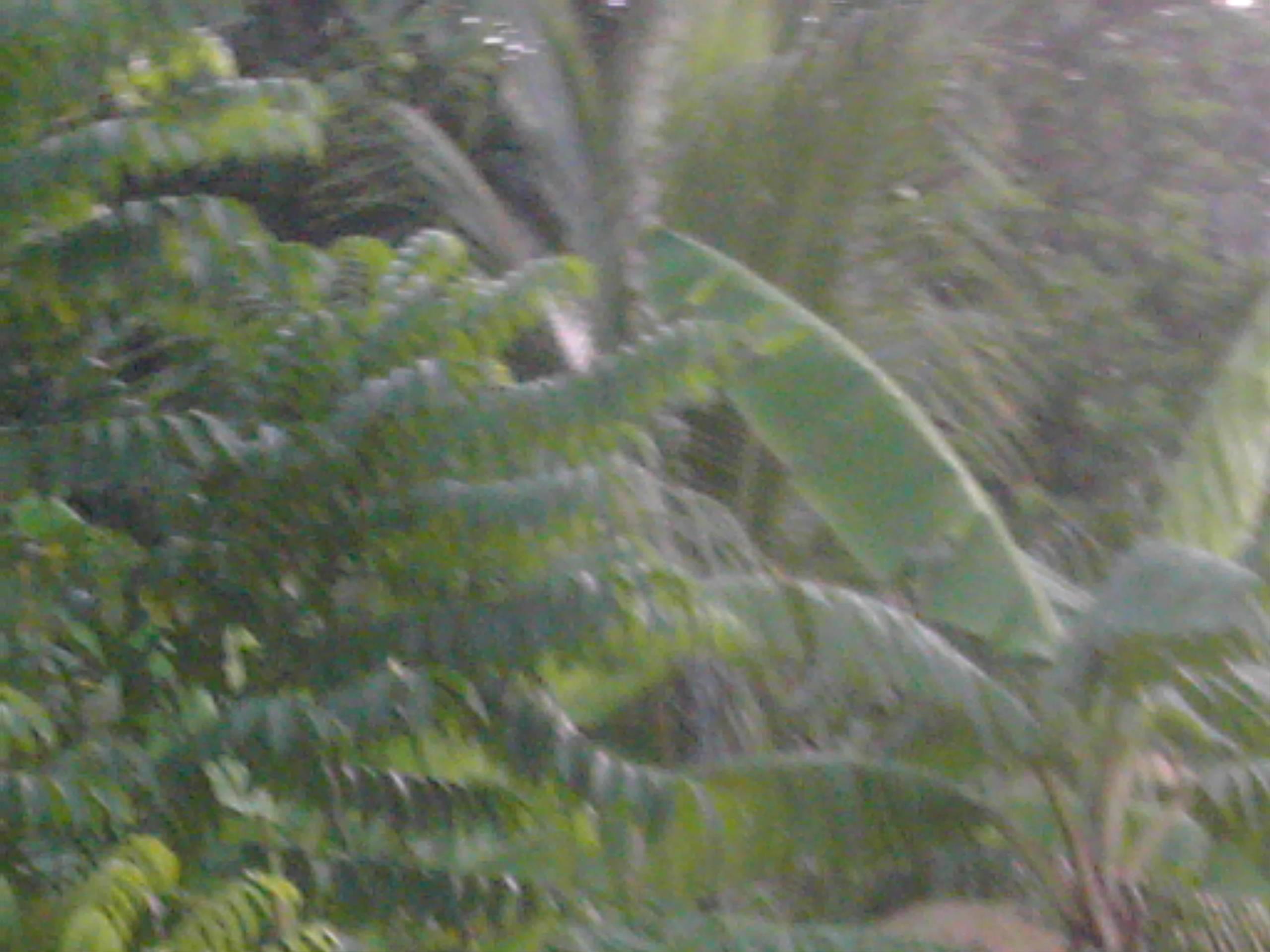 Banana and Plantain Trees